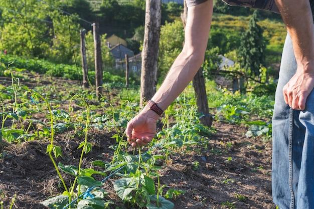 豆の植物を置く農夫。もやしを置く手。農業の概念。スペースをコピーします。