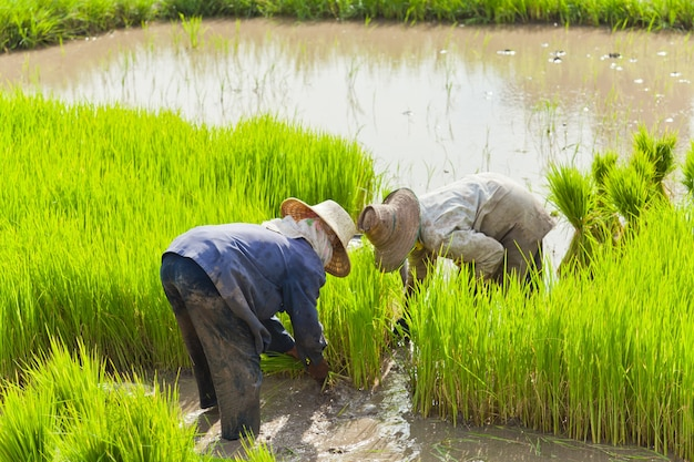 Farmer planting harvest in rice field