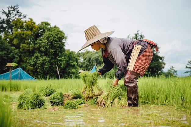 雨季の水田に稲作農家