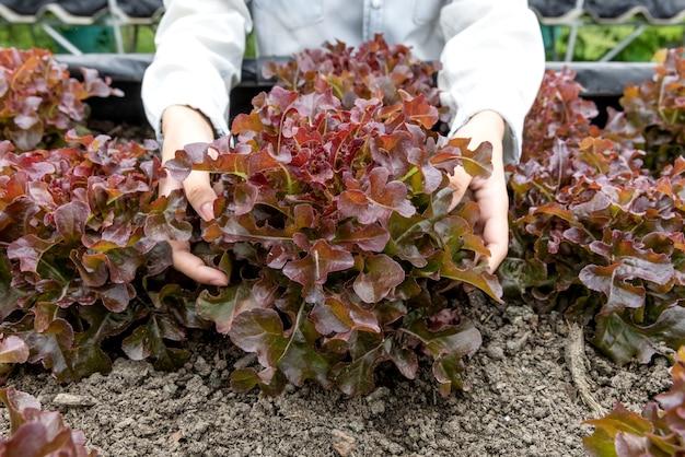 野菜畑でサニーレタスの品質をチェックする若い農家をタブレットで植えています。