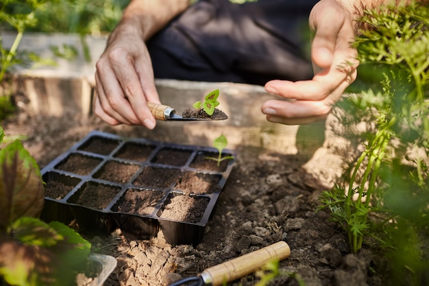 Farmer planting young seedlings of flowers in the garden. man holding little flower sprout in hands going to put it in soil with garden tools