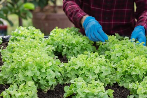야채 정원에 녹색 오크 샐러드의 어린 묘목을 심는 농부