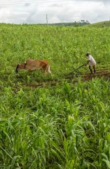 Фермер вспахивает землю плугом с рисунком животных в хуарес тавора параиба бразилия посев кукурузы