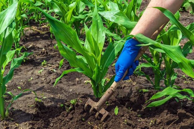 Фермер сгребает почву вокруг молодой кукурузы