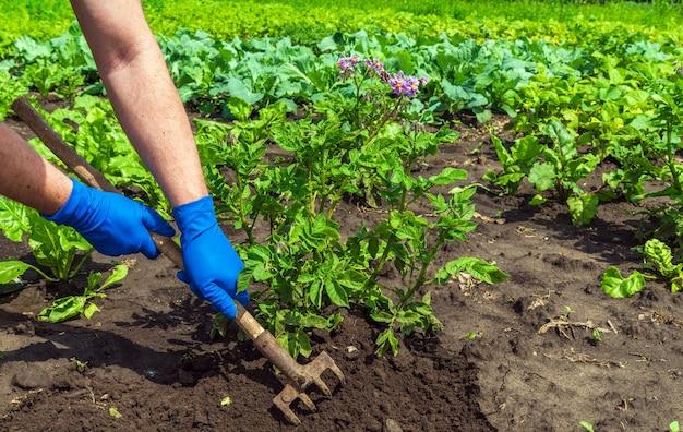 Фермер сгребает почву вокруг молодого картофеля
