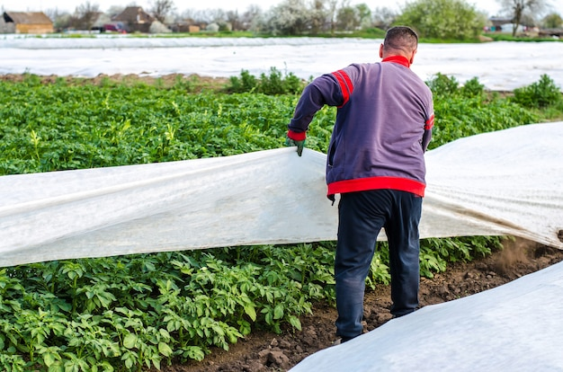 A farmer removes protective agricultural cover from a potato plantation greenhouse effect
