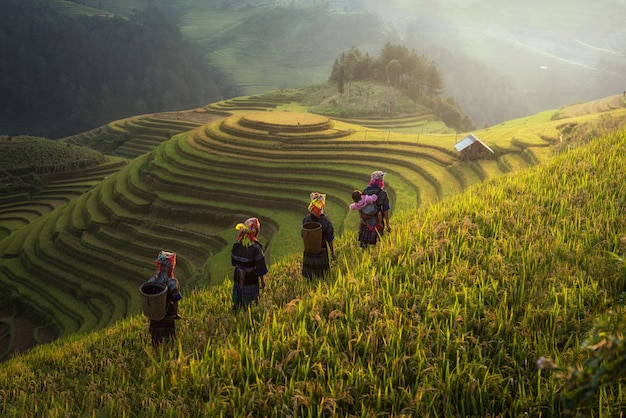 Farmer in rice fields on terraced in rainny season at mu cang chai, vietnam.