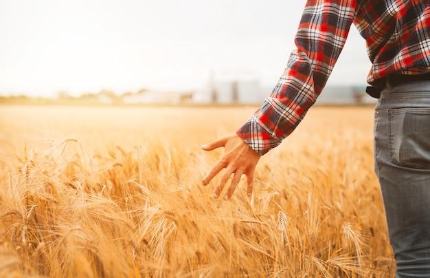 Рука фермера проверяет прогресс поля пшеницы. концепция сельского хозяйства и сбора урожая. ростки пшеницы в руке фермера.