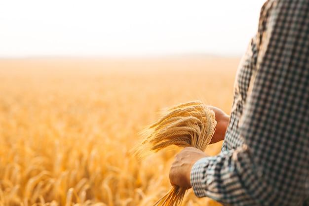 Farmer's hand checking wheat field progress.