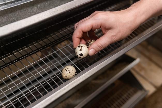 Рука фермера собирает перепелиные яйца из лотка аккумуляторной клетки