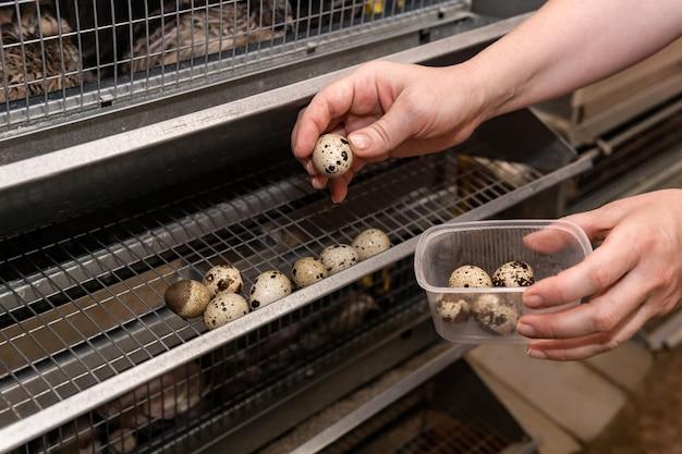 Руки фермера собирают перепелиные яйца из поддона аккумуляторной клетки