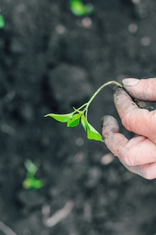 Руки фермера сажают зеленые саженцы в свежую почву. садоводство.