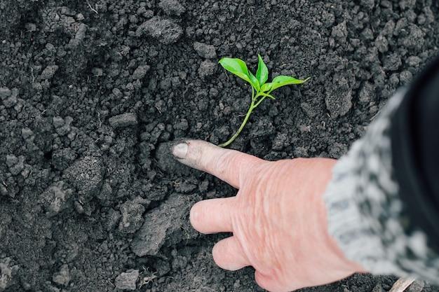 Руки фермера сажают зеленые саженцы в свежую почву. садоводство. Premium Фотографии