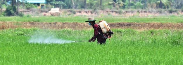 Farmer spraying pesticide in green rice field