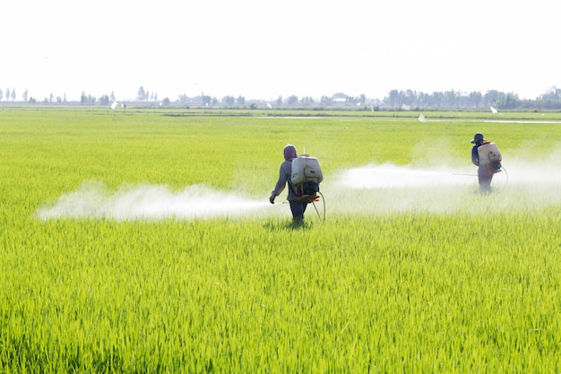 Farmer spraying pesticide in the rice field, thailand