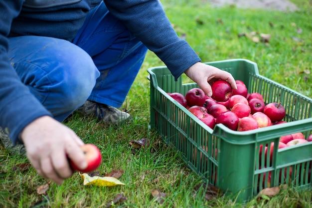 新鮮な赤いリンゴを収穫する収穫を引き裂く農夫