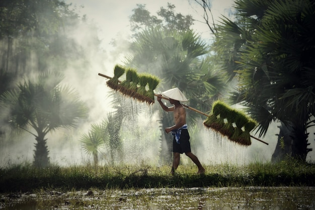 Farmer thai man farmer holding rice baby on shoulder walking in rice field farming agriculture to plant
