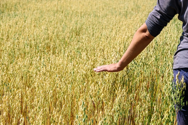 Farmer touches ears of rye