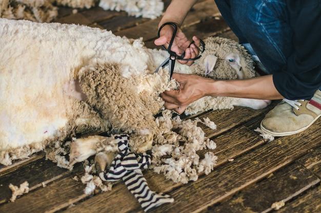 Farmer use shear cutting sheep wool