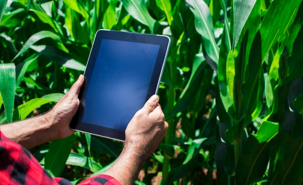 Farmer using digital tablet computer, cultivated corn plantation in background