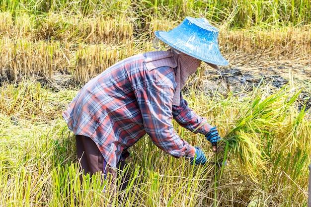 Farmer using a scythe or sickle cutting ripe rice