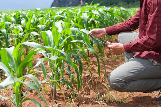 Farmer using tablet computer checking data of agriculture corn field