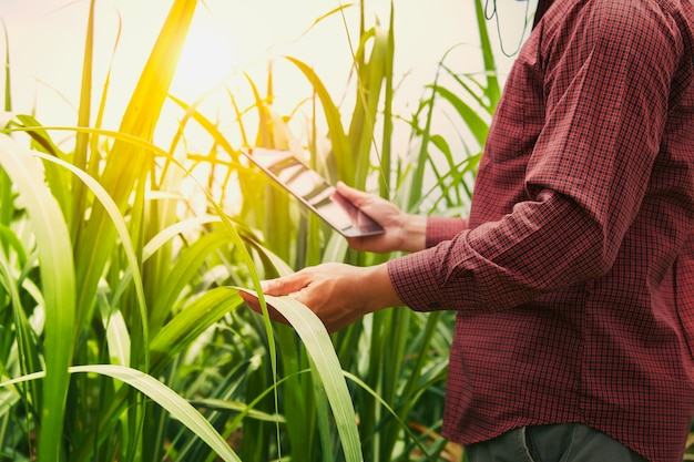 Farmer using tablet computer checking data of agriculture sugarcene