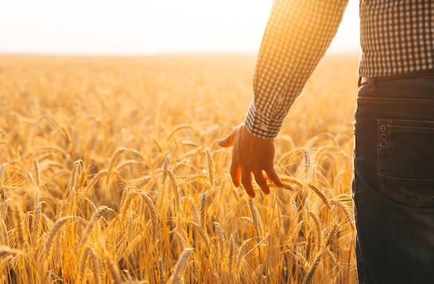 Фермер идет по полю, проверяя урожай золотой пшеницы на закате.