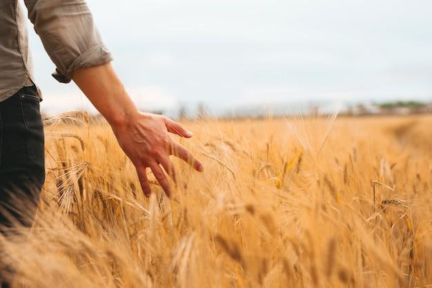 Farmer walking through field checking golden wheat crop at sunset.