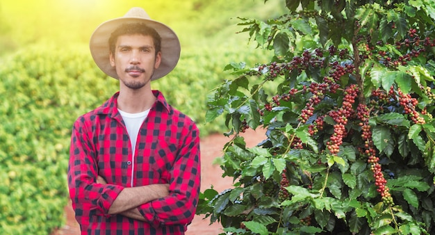 Farmer with hat next on coffee plant with ripe red fruits, ready for harvest, field at sunset. space for text.