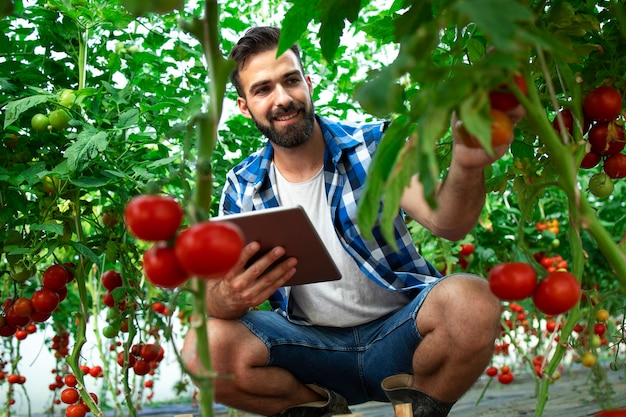 Farmer with tablet computer checking quality and freshness of tomato vegetables in organic food farm