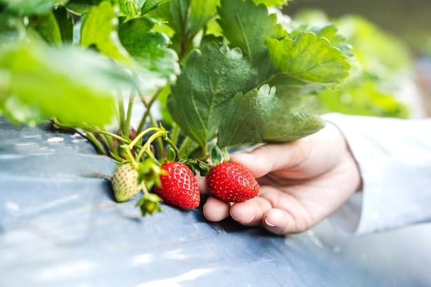 Farmer woman checking strawberry in organic strawberry farm