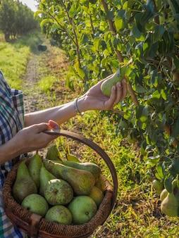 Женщина-фермер в фруктовом саду, которая берет грушу в руки, чтобы положить ее в корзину