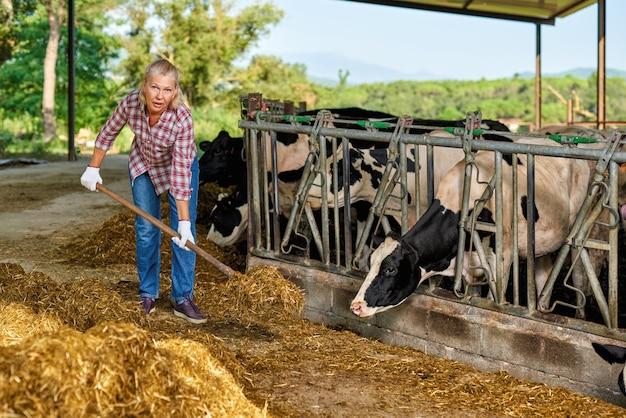 農家の女性は乳牛と一緒に農場で働いています。