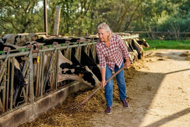 농부 여자는 젖소 농장에서 일하고 있습니다.