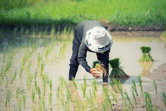 Farmer woman with rice cultivation in Thailand.