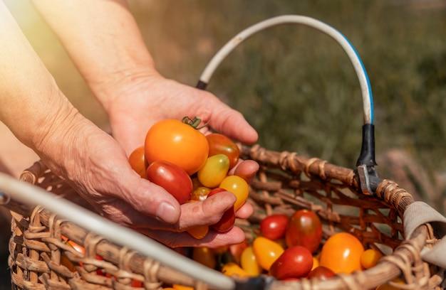 Фермеры протягивают помидор над плетеной корзиной с красными овощами, летний урожай