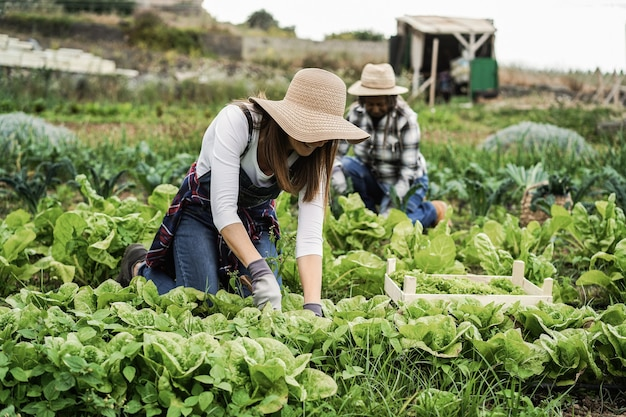 レタスの植物を拾いながら温室で働く農家の女性-フロントの女性に焦点を当てる