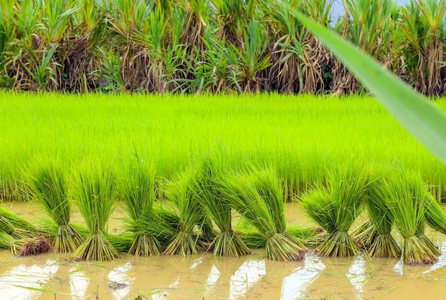 Фермерская работа. фермер готовит рассаду риса с мягким фокусом и засветкой на заднем плане