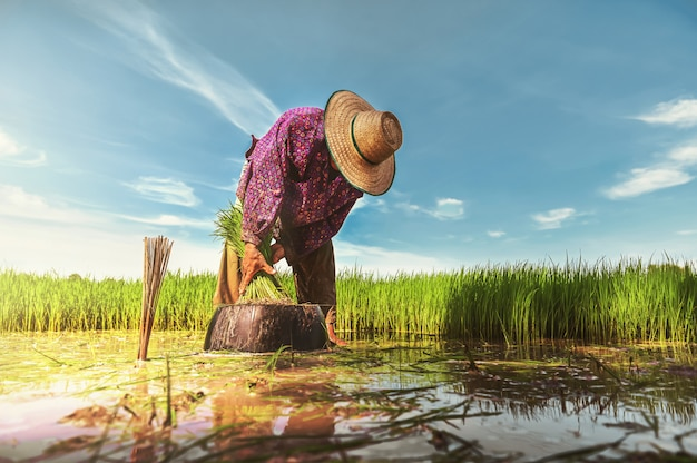 Farmer work in rice field