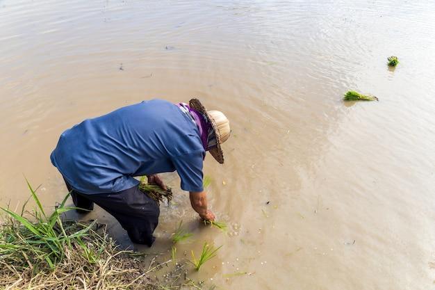 農家の仕事。イネ苗は、ソフトフォーカスで、バックグラウンドで光を当てて植える準備ができています