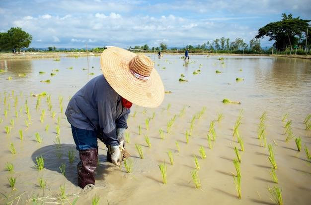 農夫の仕事。イネの苗は、バックグラウンドでソフトフォーカスとオーバーライトで植える準備ができています