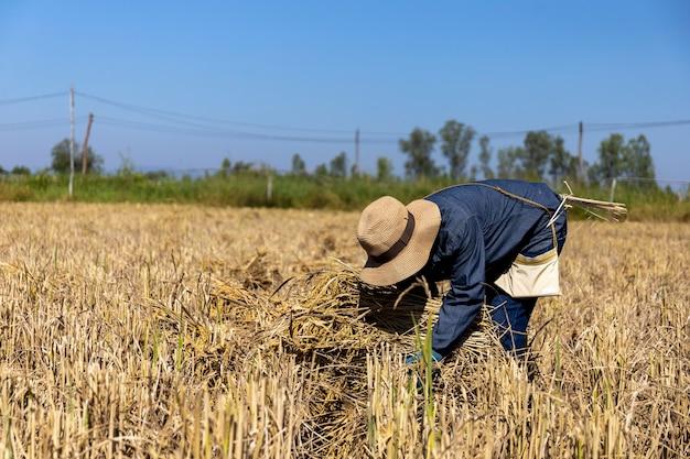 Фермерская работа. рассада риса готова к посадке с soft-focus и overlight на заднем плане