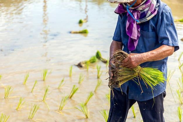 Саженцы риса готовы к посадке