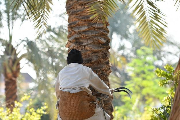 Фермер работает в сезоне сбора урожая финиковой пальмы