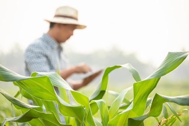 Фермер, работающий в области кукурузного дерева и исследующий или проверяющий проблему о еде тли или червя на листьях кукурузы после посадки