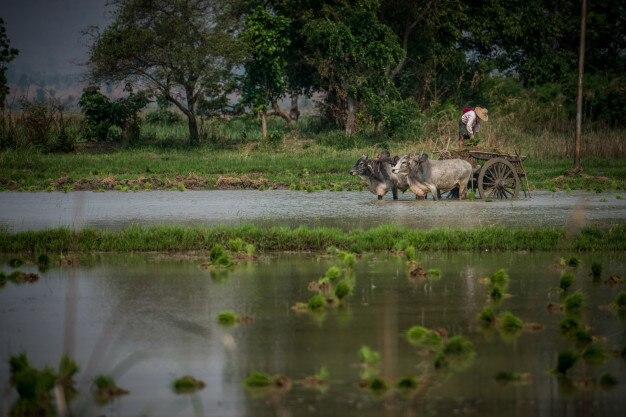 A farmer working  near inle lake myanmar (burma)