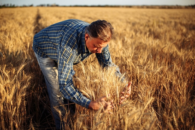 Farmer wraps around a bunch of yellow spikelets of wheat in the middle of the field.