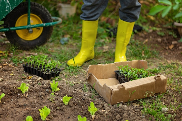 Farmer in yellow rubber boots planting young seedlings of lettuce salad and pepper in the vegetable garden. pots,boxes with seedlights and garden car on background. ecology growing concept.