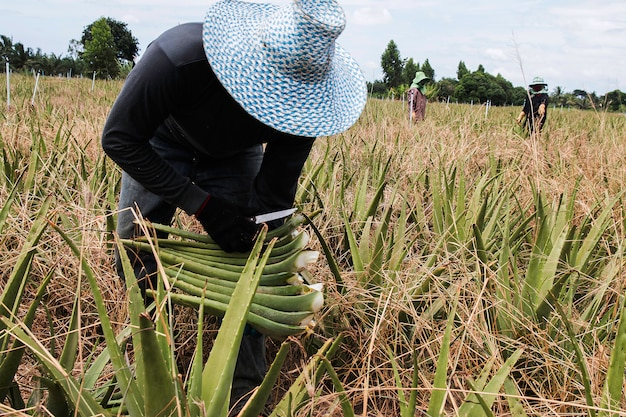 Farmers in acres of aloe with cultivation of aloe vera in thailand